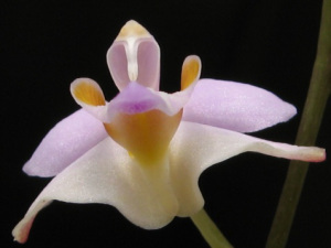 sky-orchid